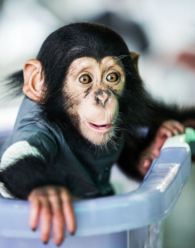 Chimpanzee baby 8 Adorable And Animal Animals At Away Background Black Bonobo Breed Camera Chimp Chimpanzee Close Close-up Cross-breed Crossbreed Cut Cut-out Cute Face Front Fur Furry Happiness Happy HEAD Headshot Image Indoors  Isolated Looking Mixed Mixed-breed Monkey Nature No Old One Out People Portrait Primate Shot Shoulders Smile Square Studio Teeth Themes Up View White Wild Wildlife Years