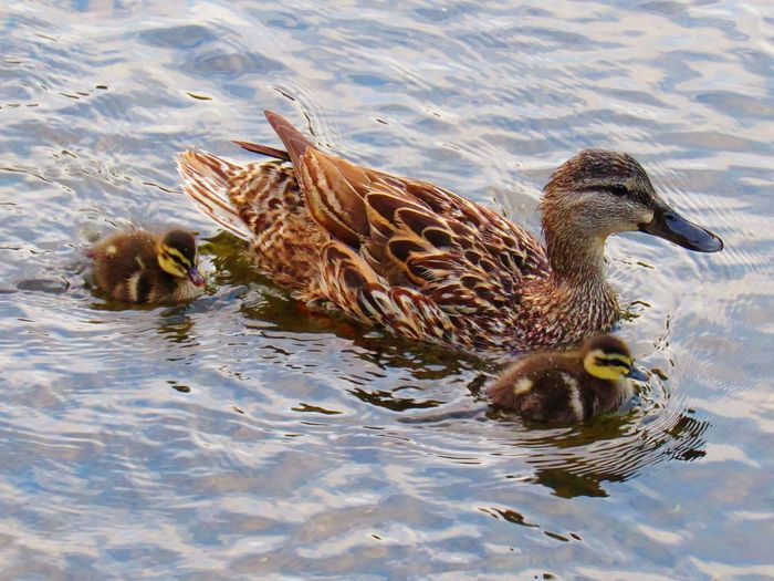 A MALLARD MOTHER TAKING HER VERY YOUNG DUCKLINGS OUT FOR A SWIM Nature Wildlife Beauty In Nature Ducks Diving Ducks Summertime Animals In The Wild EyeEm Selects Water Swimming Bird UnderSea Close-up Mallard Duck Duck Female Animal Floating In Water Young Bird Water Bird Duckling