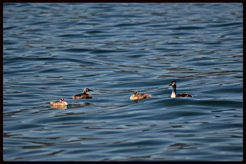 Watching The Ducks Lago Maggiore