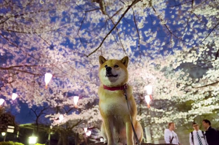 instagram@marutaro Cherry Blossoms Dog Sakura Yozakura まるたか 夜桜 柴犬 柴犬まる 桜