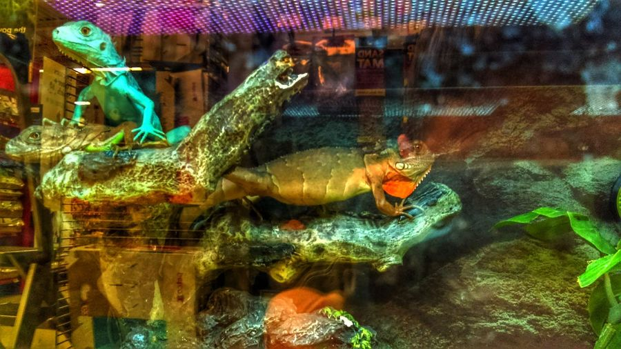 EyeEm Animal Lover No People IguanaChronicles Chameleon_collection Reptile World Lizard King Enjoy The New Normal