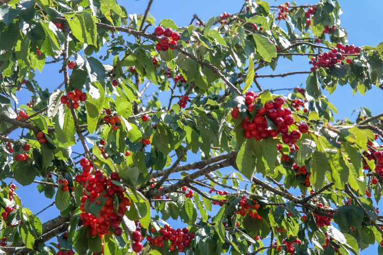 Red wild cherries hanging before blue summer sky Sky Nature Tree Fruit Red Green Leaves Plant Berry Fruit Cherries Cherry Blossom Wildlife Outdoors Low-angle Shot Plant Part Ripe Sunny Day Branch Freshness No People Sweet