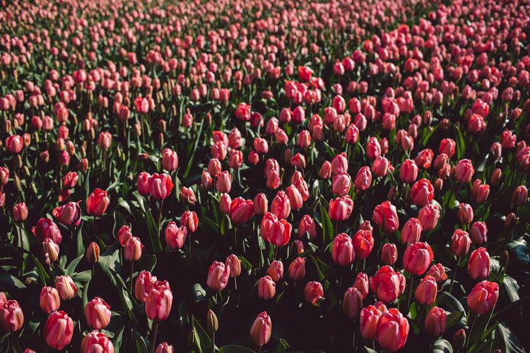 Full frame shot of pink tulips on field