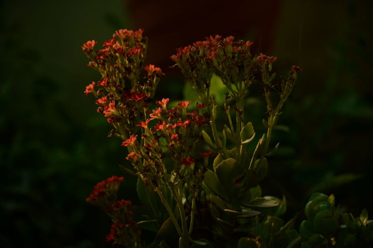 Coral flowers blooming in park at night