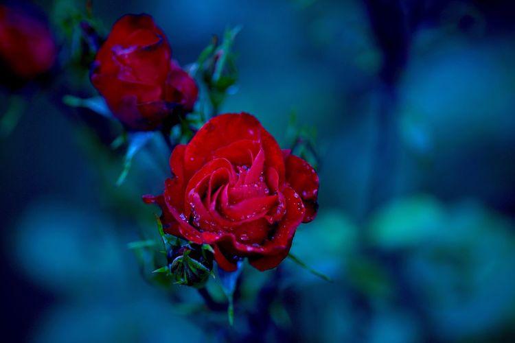 今週末は 福山 バラ祭り ってことで、バラ公園にて おひとり様 。 Flower Rose Garden Rose🌹 Fukuyama