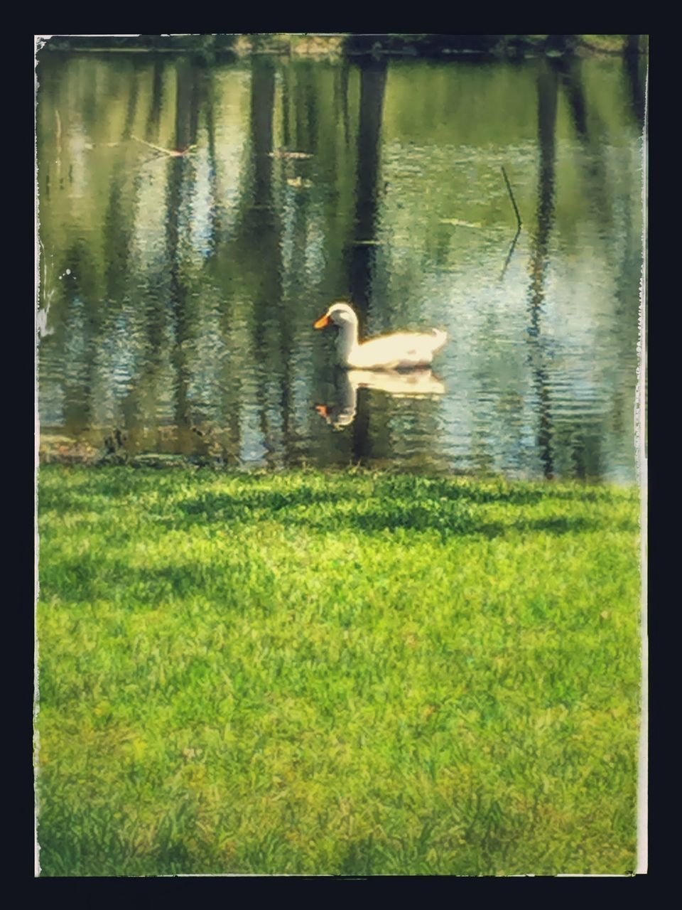 animal themes, animals in the wild, bird, lake, one animal, grass, water, nature, wildlife, day, duck, reflection, water bird, outdoors, animal wildlife, swimming, no people, full length, spread wings