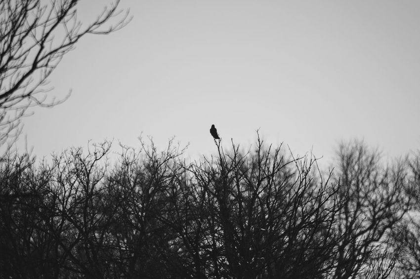 Visual Journal December 2016 Western, Nebraska (Fujifilm Xt1,Nikkor 500mm f8) edited with Google Photos. A Day In The Life Animals In The Wild Bare Tree Beauty In Nature Branch Camera Work Clear Sky Eye For Photography EyeEm Best Shots FUJIFILM X-T1 Great Plains Manual Focus MidWest My Neighborhood Nikkor 500mm F8 No People One Animal Perching Photo Diary Rural America Silhouette Small Town Stories Storytelling Visual Journal Wintertime