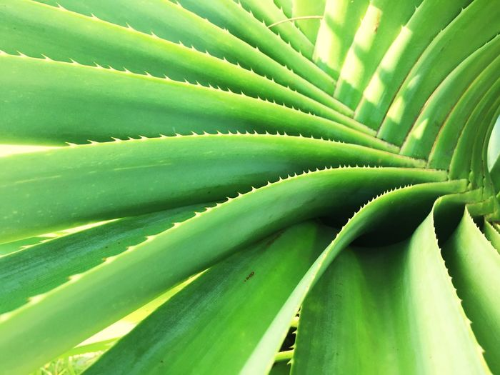 Full frame shot of aloe vera plants