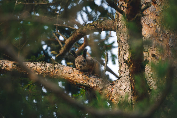 A curious squirrel watches carefully from a tree in the forest.