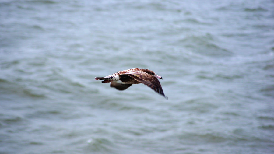 Flying Bird Animal Wildlife One Animal Animals In The Wild Spread Wings No People Nature Water Outdoors Bird Of Prey Day Sea Animal Themes Close-up