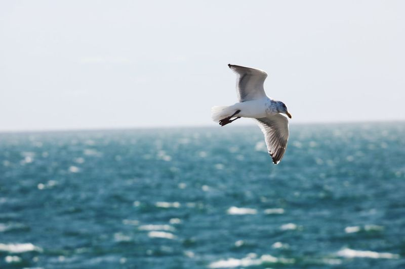 Seagull flying over sea against clear sky