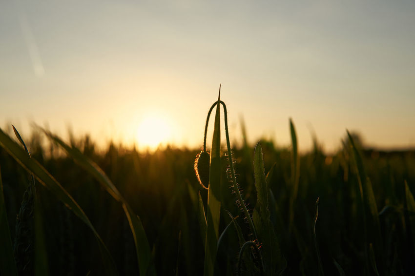 sunset memories Summer Memories Field Growth Rural Scene Close-up Landscape Nature Beauty In Nature Sunset Sunset Memories Sun Tranquility Lucky's Colors Lucky's Memories Melancholy Mood Atmosphere Shootermag Depth Of Field Bokeh Selective Focus Skyhunter Sunrays EyeEm Best Shots