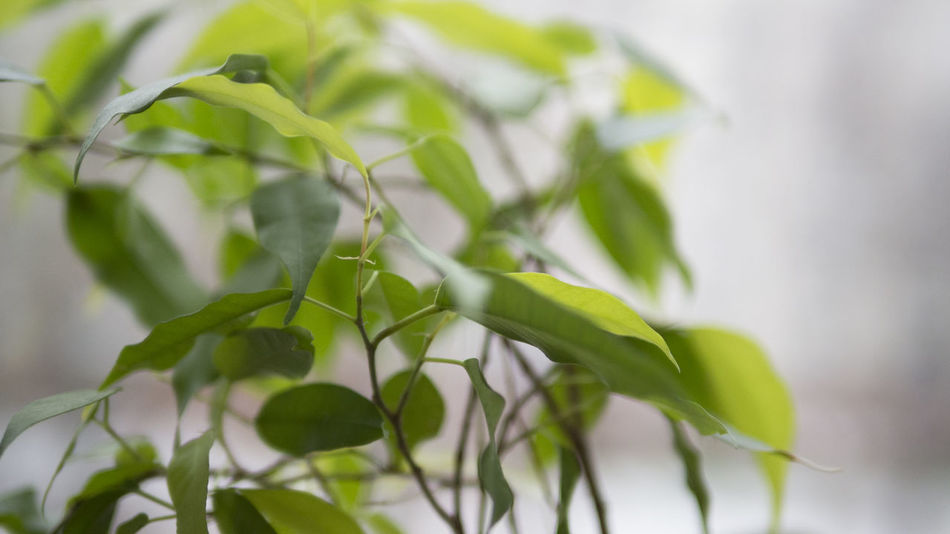 Beauty In Nature Close-up Day Ficus Benjamina Freshness Green Color Growth Leaf Nature No People Outdoors Plant Plant Photography Sky