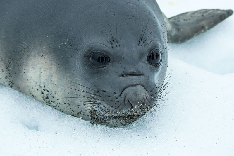 Close-up of sea lion in snow