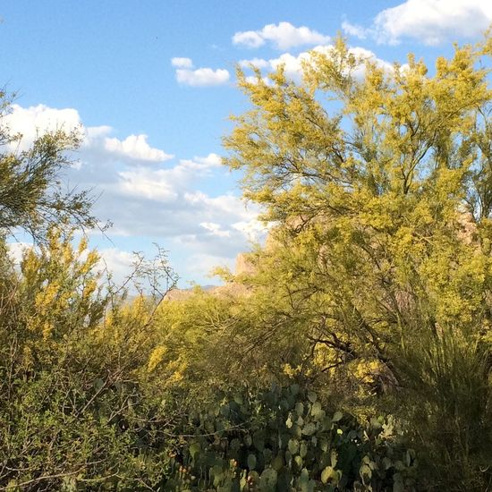 Palo verdes in bloom, yellow blooms, clouds, blue sky