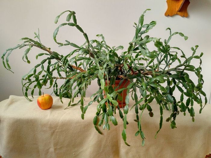 Large Schlumbergera Buckleyi called christmas cactus with an apple to compare the size. Houseplant in horizontal orientation, nobody. Schlumbergera Schlumbergera Buckleyi Plant Houseplant Greenery Apple Cactus Epiphyte Christmas Cactus Xmas Cactus Cacti