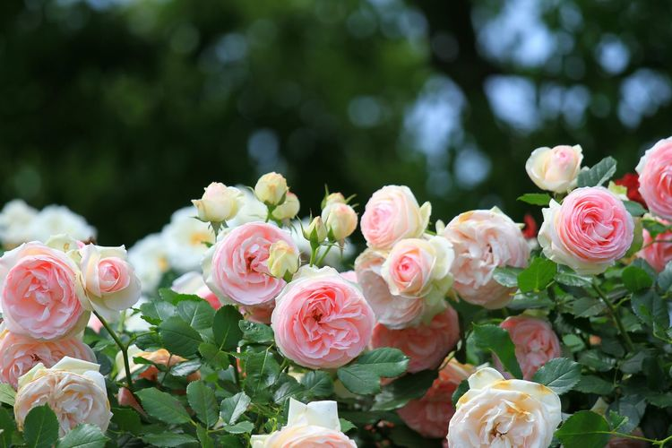 ピンクの薔薇は「しとやか」「上品」らしい♪(*^^)/ この図は、「しとやかな淑女」の集会ってとこかな?(*'艸`) Rose🌹 Roses🌹 Roses Rose♥ Flowers Flower EyeEm Best Shots - Flowers EyeEm Flower Flower Collection Flowers_collection 玉ボケ部