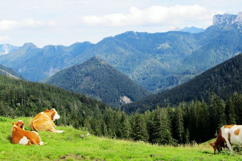Auf der Alm bei Oberwössen, Chiemgau Alpenpanorama Alpenwelt Hello World Cows🐮 Relaxing Bergpanorama Almwiesen EyeEm Nature Lover EyeEm Best Shots
