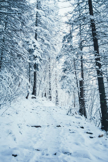 Snow Winter Cold Temperature Tree Plant Forest Nature WoodLand Covering Outdoors Coniferous Tree Pathway