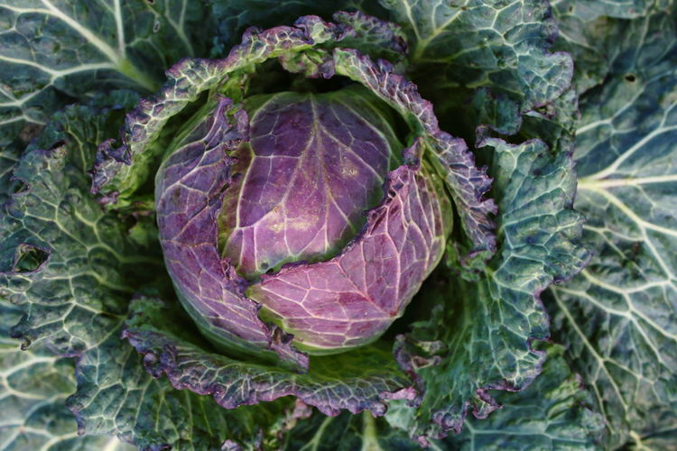 Beauty In Nature Cabbage Cabbage Heart Close-up Day Field Food Freshness Green Color Growth Healthy Eating Heart High Angle View Leaf Leaf Veins Leaves Nature No People Outdoors Plant Purple Purple And Green Vegetable Winter Vegetables