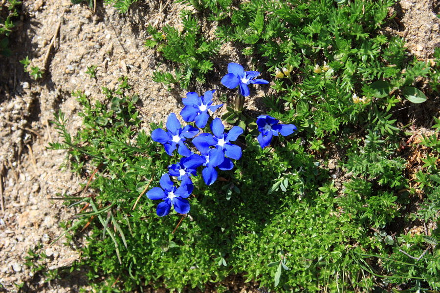 Alpine Alpine Flower Alpine Flora Alpine Flowers And Herbs Gentian Gentian Flower Gentian Plant Alps Beauty In Nature Blooming Blue Enzian Flower Fragility Gentian Blue Growth Nature No People Outdoors Plant Purple Spring Flowers