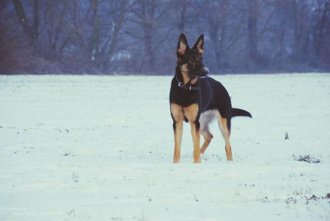 Snow and fun German Shepherd I Love My Dog Winter