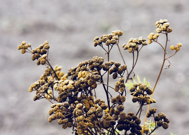 tansy flower shrub Autumn Field Beauty In Nature Brown Bush Change Change Of Seasons Close-up Dead Plant Dried Plant Dry Fall Flower Flower Head Focus On Foreground Freshness Growth Nature Outdoors Plant Shrub Tansy Tree Wilted Plant Yellow