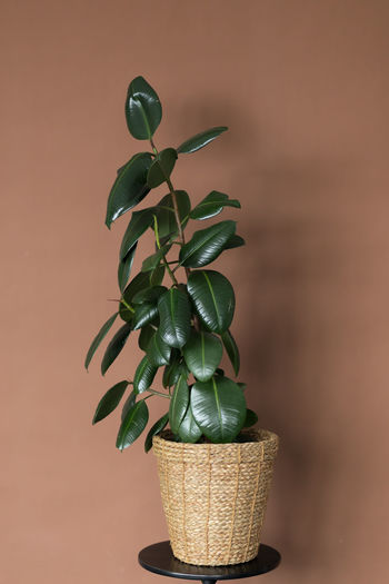 There is a beautiful ficus tree in a wicker flowerpot against a brown wall. stylish modern interior.