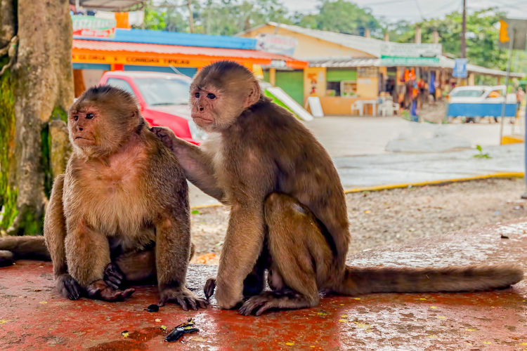 Animal Themes Animal Wildlife Animals In The Wild Animals In The Wild Architecture Building Exterior Built Structure Close-up Day Ecuador Focus On Foreground Friend Jump Jungle Love Mammal Monkey Monkeys No People Outdoors Peace Tiny Tropical Climate Wildlife Young Animal