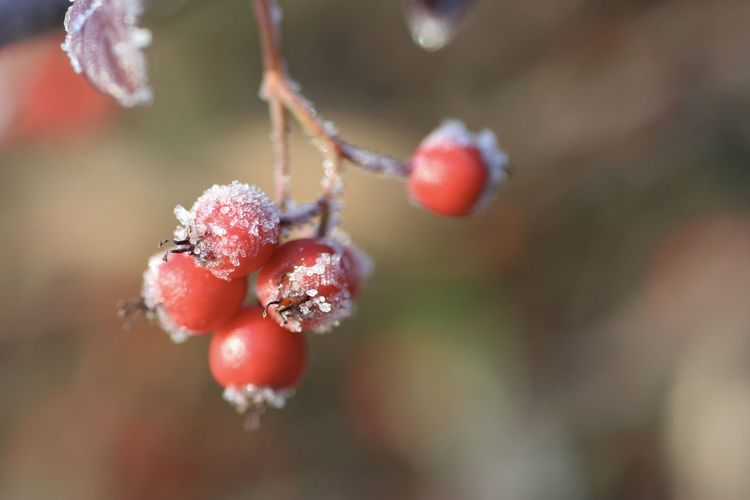 Close-up of frozen berries on plant