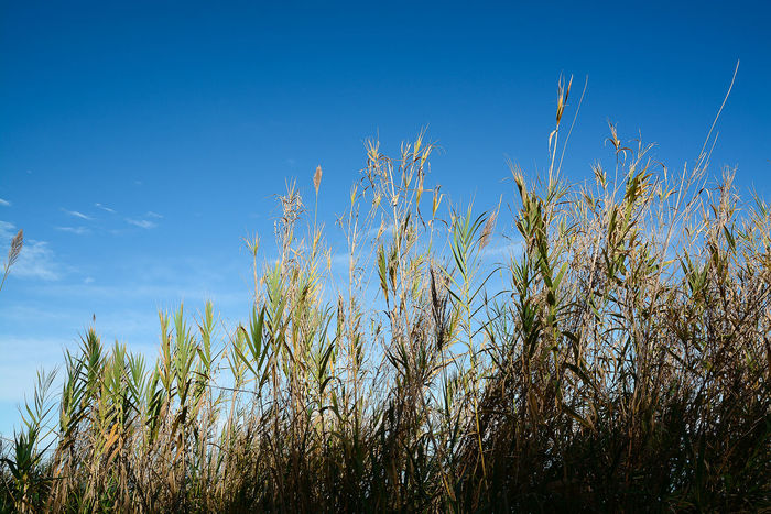Agriculture Beauty In Nature Blue Clear Sky Close-up Day Field Grass Growth Nature No People Outdoors Plant Rural Scene Scenics Sky Tranquil Scene Tranquility