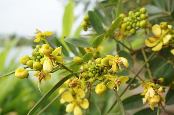 Herb Leguminosae Senna Siamea Thai Copper Pod Tree Beauty In Nature Bloom Blooming Blossom Botany Cassod Tree Close-up Flora Floral Flower Flower Head Freshness Green Color Growth No People Outdoors Petal Pollen Tree Yellow