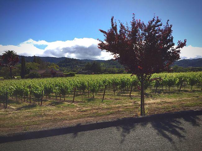 Vineyard California Beautiful Nature
