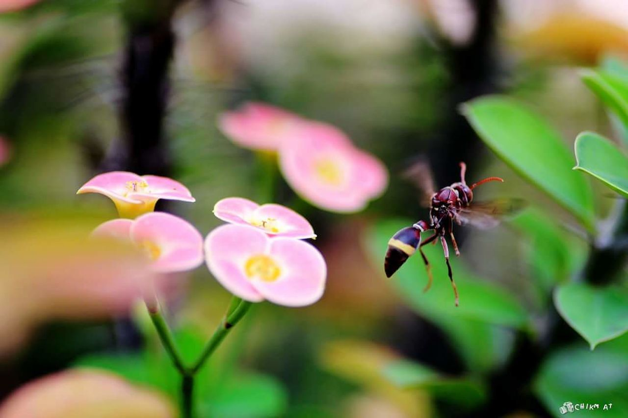 CLOSE-UP OF INSECT POLLINATING ON PINK FLOWERS