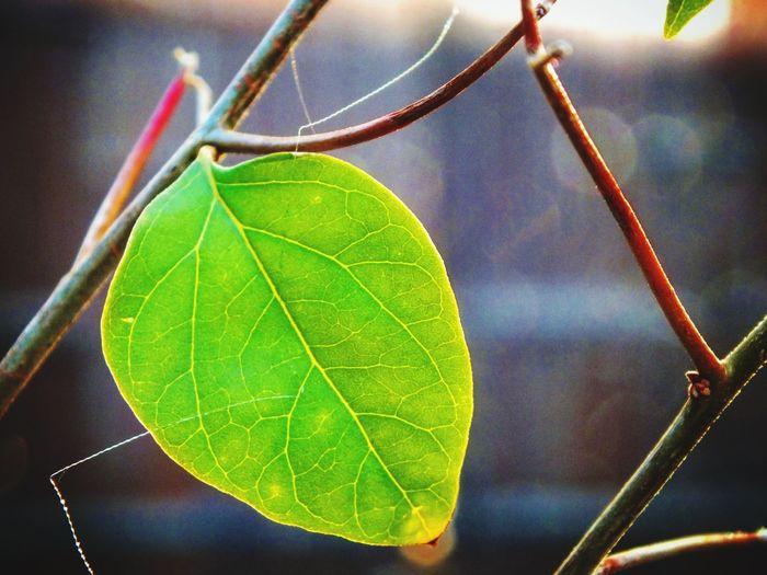 Close-up Leaf No People Focus On Foreground Growth Nature Plant Fragility Outdoors Day Tree Türkiye Mersinforum Beauty In Nature Turkey💕 Mersin Universitesi Turkinsta Low Angle View Single Object Mersinliyizbiz Nbkphotographyy Cloud - Sky Adapted To The City Tarsus Leopard