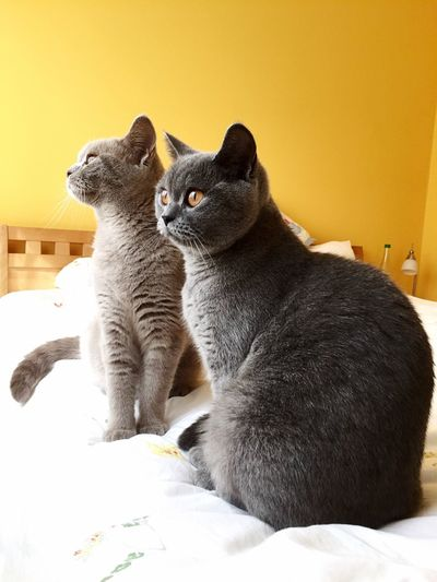 Relaxing bedroom yellow Domestic Cat Pets Indoors  British Shorthair View From Indoors Out Animal Themes sisters Feline