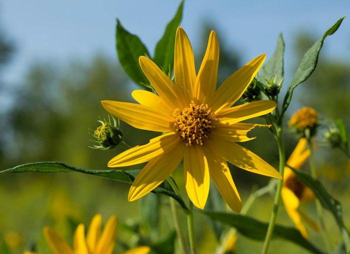 Yellow Flower EyeEm Nature Lover Taking Photos Summer ☀