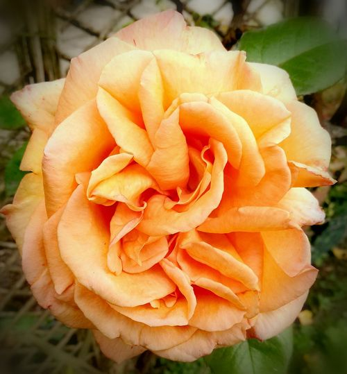 A Peach/tangerine coloured rose 🌸🌼🌻 Flower Petal Nature Flower Head Rose - Flower Fragility Plant Freshness Beauty In Nature No People Close-up Outdoors Growth Day Soft Focus Tangerine Tangerine Color Flower Springtime HuaweiP9Photography Rose Petals Rose🌹 Backgrounds Calming Background Peach Color Peach Color Flowers