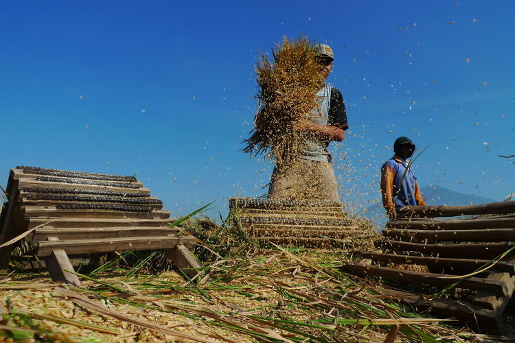 Harvest paddy