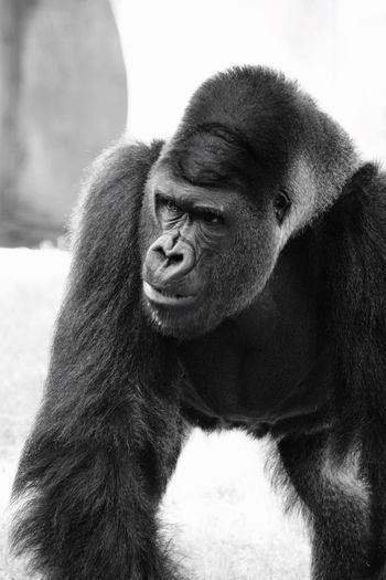 Gorilla Portrait Zoo Black & White Ft Worth