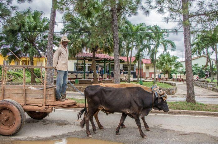 Die Bandbreite der tatsächlich genutzten Transportmittel hat mich in Kuba stark beeindruckt. Vom Einrad bis zum Segway habe ich fast alles gesehen. McGerhardinCuba Viñales KuBa Cuba Transport Transportation Ochsenkarren Landleben Ochsen Oxen Country Life Bauer Landwirt Farmer Retro
