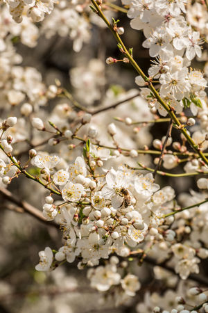 White blossoms on a tree on the green field Almond Tree Apple Blossom Apple Tree Beauty In Nature Blossom Botany Branch Cherry Blossom Cherry Tree Close-up Day Flower Flower Head Fragility Freshness Growth Nature No People Orchard Outdoors Petal Springtime Tree Twig White Color