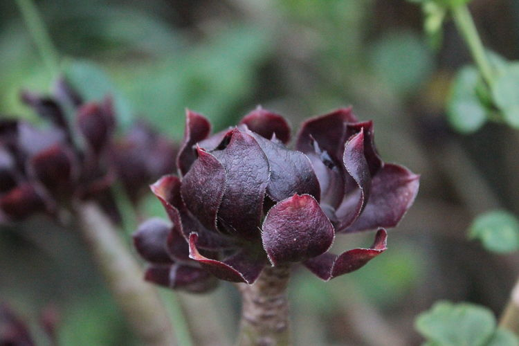Aeonium African Beauty African Beauty African Gar Beauty In Nature Blooming Botany Close-up Focus On Foreground Nature Plant Plants 🌱 Purple Flower Purple Queen