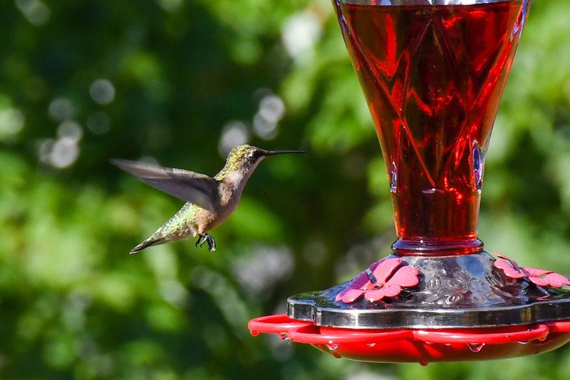 Hummingbird at