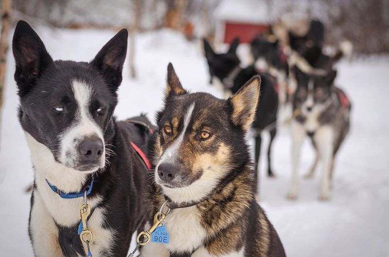 Close-Up Of Sled Dogs On Snow Covered Field