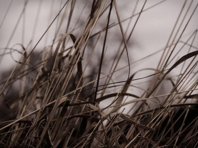 Brown Claudetheen Close-up Grass Monochrome Nature Vintage Winter Winter Mood Wintergrass