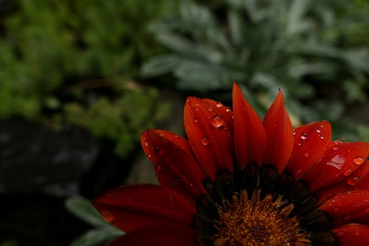 Close-up of wet gazania blooming outdoors