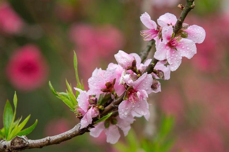 好心情(1) Flower Fragility Beauty In Nature Growth Nature Pink Color Focus On Foreground Petal Outdoors Close-up Freshness Flower Head Day No People Springtime Branch Blooming Tree Plum Blossom