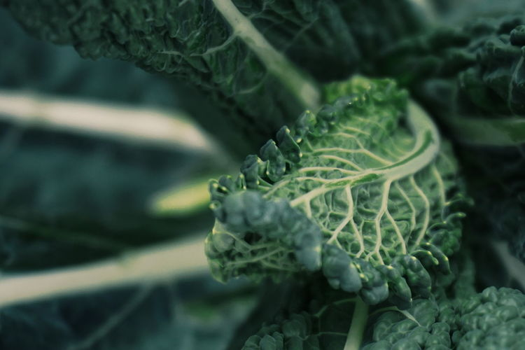 black kale/ curly kale Close-up Green Color Nature Animal Wildlife No People Day Plant Outdoors Beauty In Nature Animal Themes Freshness Agriculture Fragility Green Leaf Vegetables Vegetable Freshness Healthy Eating Leafs Black Kale Curly Kale Kale Healthy Healthy Food