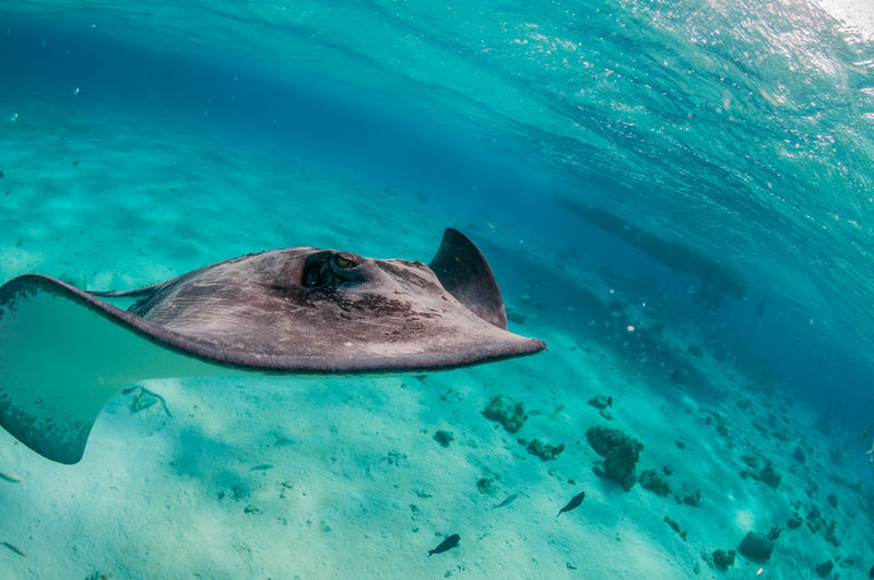 Grand Cayman Cayman Islands Tourism Caribbean underwater photography Stingray City Stingray Underwater Sea Animal Wildlife Animal Animal Themes Animals In The Wild Water Sea Life Marine Swimming One Animal UnderSea Fish Vertebrate Nature No People Shark Mammal Turquoise Colored